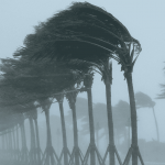Row of palm trees blowing in hurricane winds